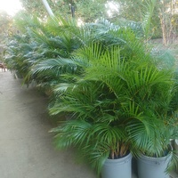 Large Palm plants for starting from 250