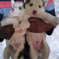Pure bred husky puppies Call 288-7464