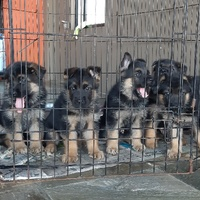 German Shepherd Pups Imported Bloodlines