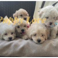 Toy poodle and Maltipoo mixed