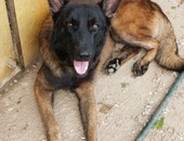Pure Breed Belgian Malinois for stud service /line