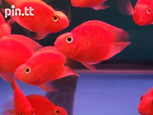 Red Kong Parrot Fish