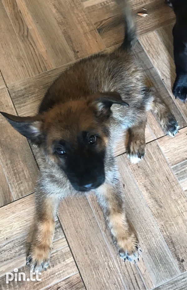 Pure Bred GSD-3