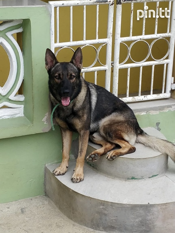 Gsd For Stud