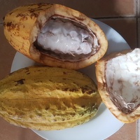 YELLOW COCOA PLANTS