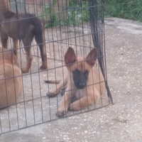 Two mths old Belgian Malinois puppies.