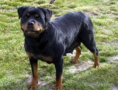 One king rot puppy in excellent conditon