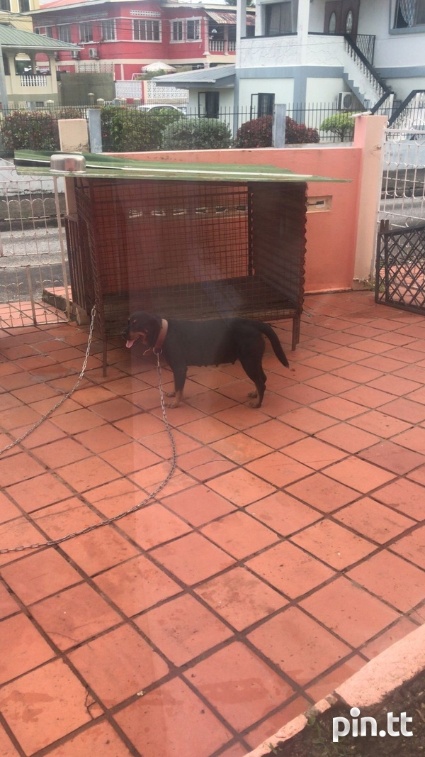 Rottweiler puppies, will be ready in two weeks-2
