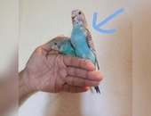 Hand Tame Baby Budgie