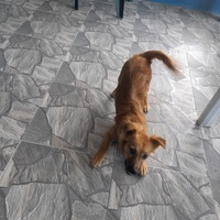 SMALL POMPEC MIX FIVE MONTH OLD PUPPY