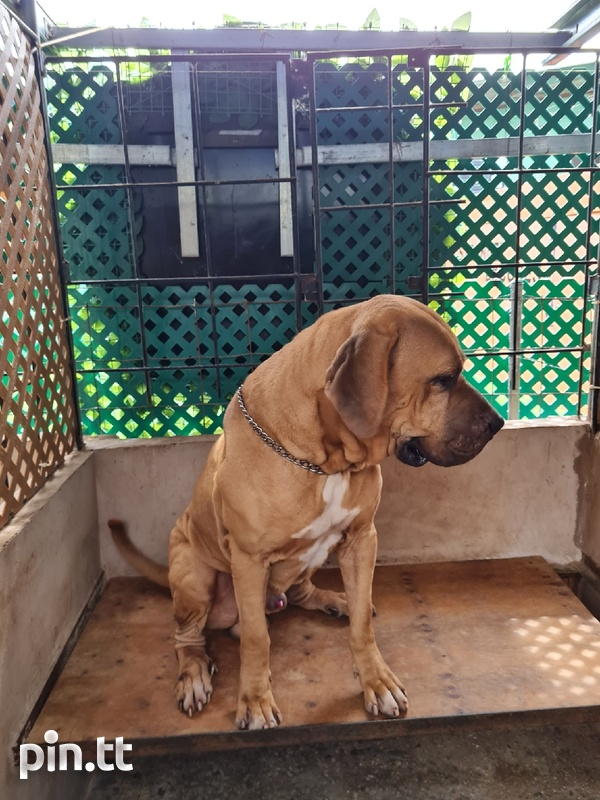 Mastiff pups for forever homes-1