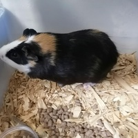 Deal on guinea pigs