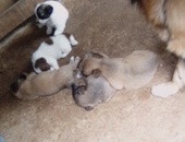 4 males and five females pompek mix breed
