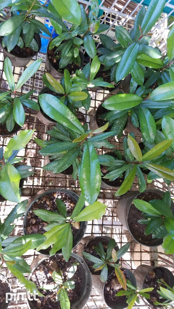 YOUNG BAY LEAF TREES-1