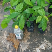 Young cocoa plants and chateign
