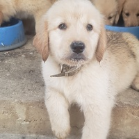 Purebred golden retriever need a loving home