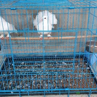 Indian Fantail Pigeons and Cage