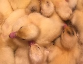 Pure Breed Local Muscovy Ducklings