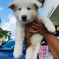 2 Husky Pups Left Excellent Quality Alaskan/Malamute Mix