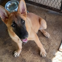 Purebred German Shepherd 5 Months old. Fully vaccinated