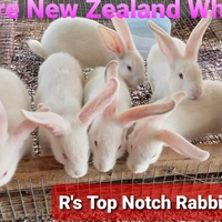 Pure breed nz white