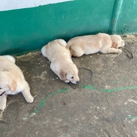 Full breed Golden retriever puppies. 3 males 4 females, 6wks. 1st Vaccine given