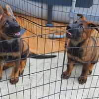 Working Line German Shepherd Pups
