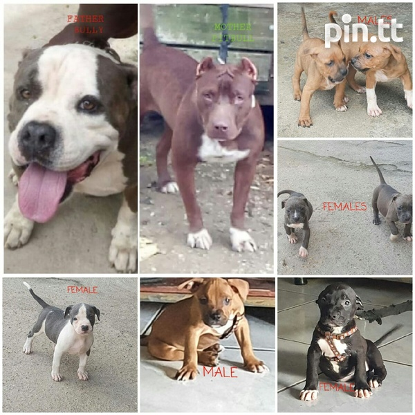 Pit and Bullie Pups-1