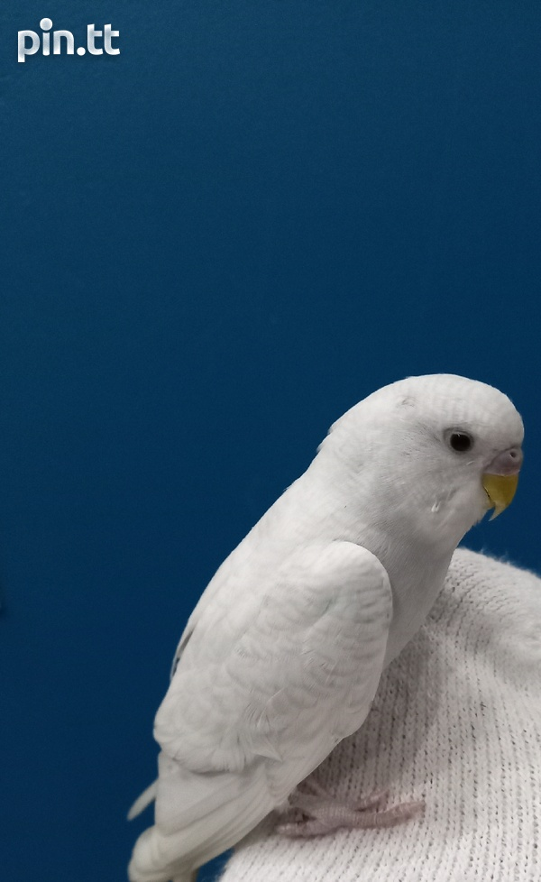 Young hand tame white budgie