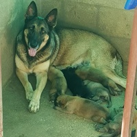 German shepherd pups available in July