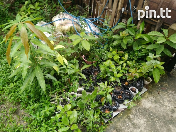 Plants- Soursop, Sugar apple, Mango, Chinese Pommerac, Others....-2