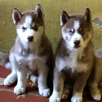 Pups, pure bred Huskies