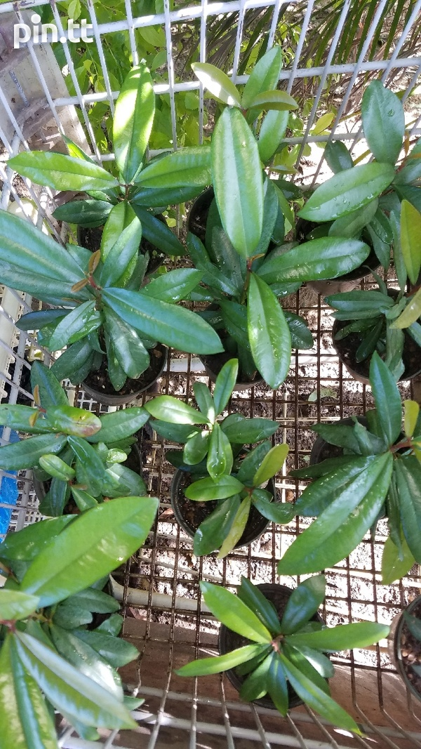 YOUNG BAY LEAF TREES-2
