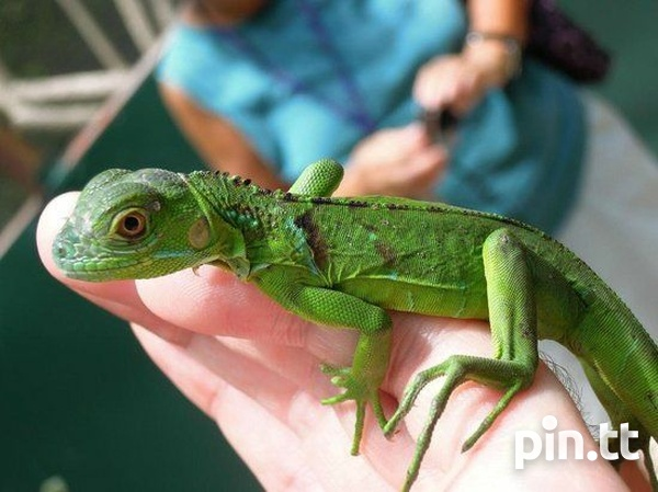 Looking for baby iguanas-1