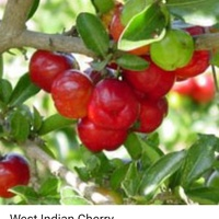 West indian cherry plants