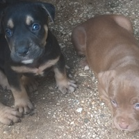 two female pittbull puppies 6 weeks on 17th January 2021