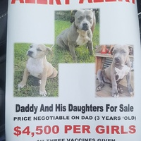 American Bully Dad and Female Pups