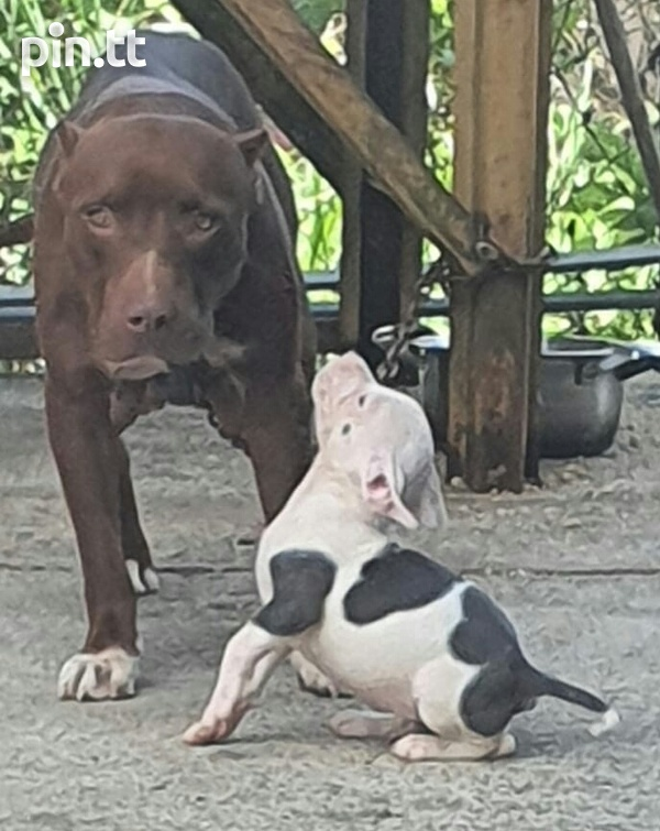 Pit and Bullie Pups-5