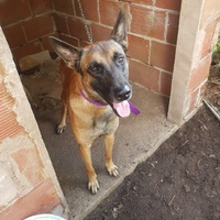 Male Belgian Malinois up for stud