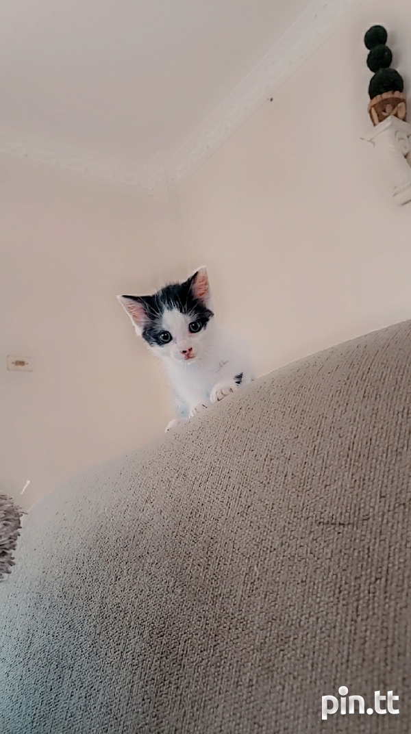 Cute kitty for adoption-2