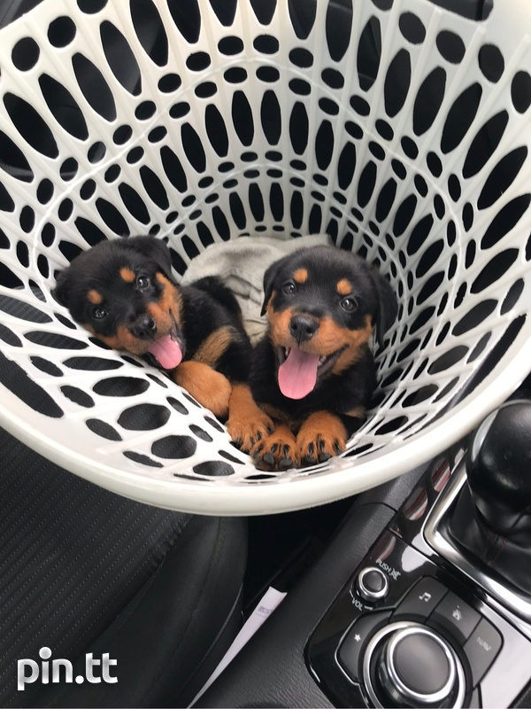 Rottweiler puppies, will be ready in two weeks-3