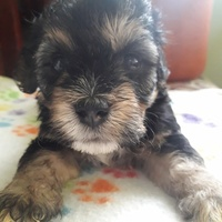 Maltipoo pup available fs