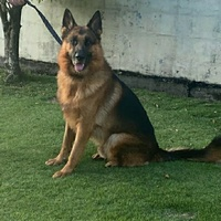 Imported GSD up for stud