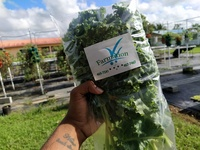 Farmation Hydroponically Grown Kale