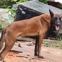 Purebred Belgian Malinios up for Stud