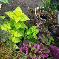 Beautiful Coleus plants and other varieties