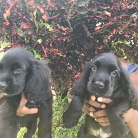 Two Handsome Cocker Spaniels