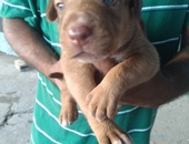 Puppy .. doberman mixed with hunting dog.