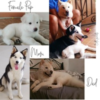 Chowski pup looking for furever home