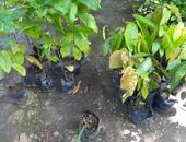 Coffee and cocoa plants